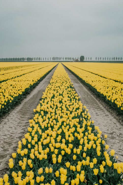Fotoworkshop Tulpen 'This is Holland' | Zondag 2 Mei 2021 5