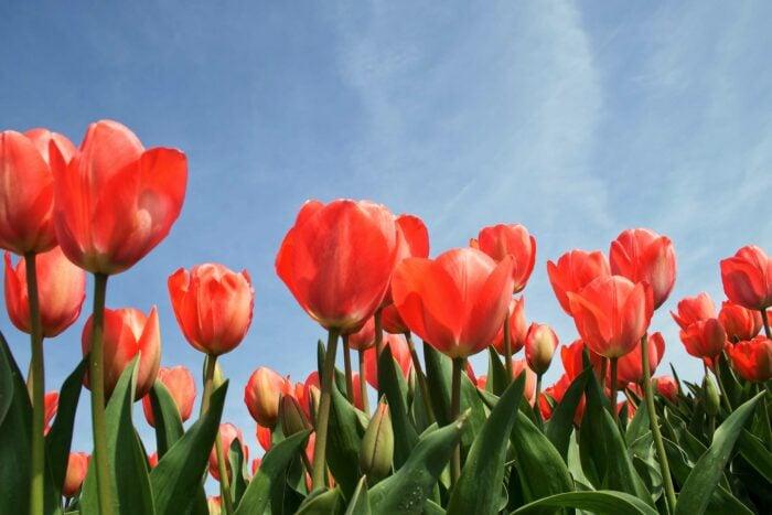 Fotoworkshop Tulpen 'This is Holland' | Zondag 18 April 2021 4