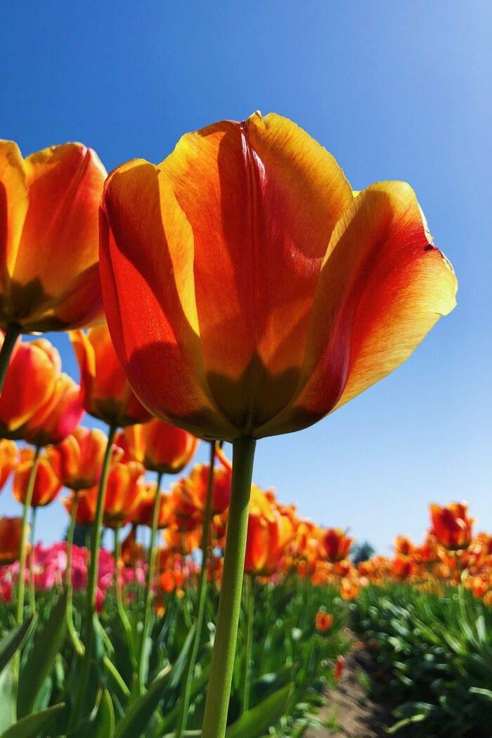 Fotoworkshop Tulpen 'This is Holland' | Zondag 18 April 2021 3
