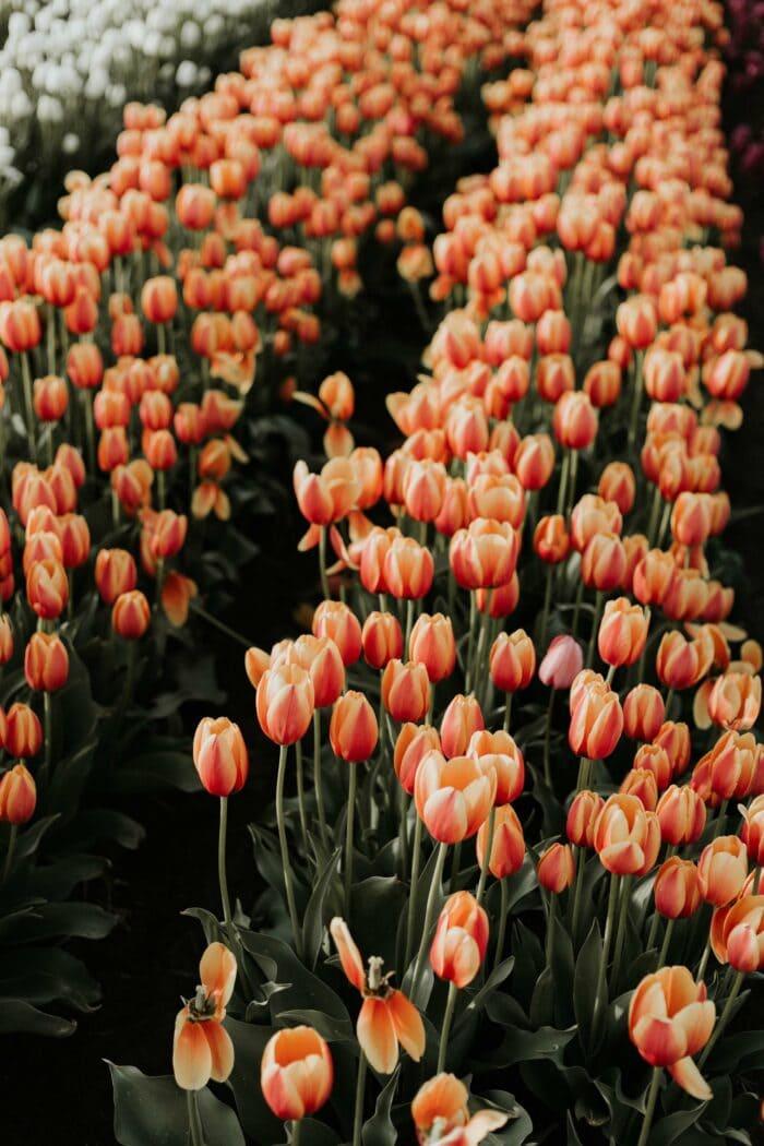 Fotoworkshop Tulpen 'This is Holland' | Zondag 2 Mei 2021 10