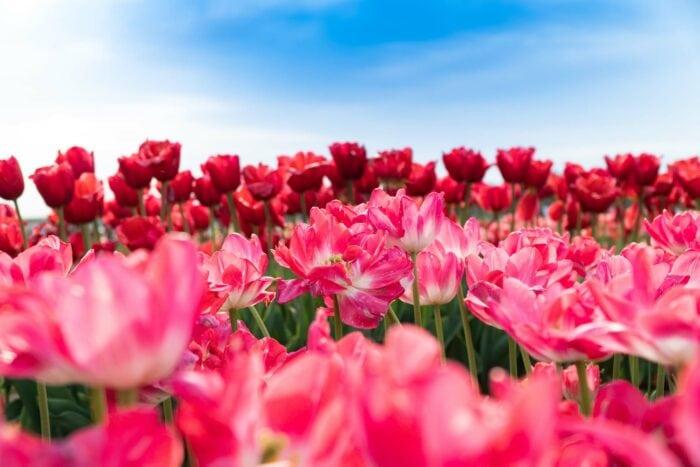 Fotoworkshop Tulpen 'This is Holland' | Zondag 2 Mei 2021 6