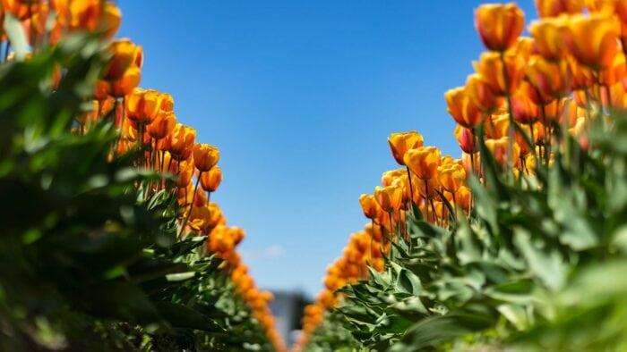 Fotoworkshop Tulpen 'This is Holland' | Zondag 2 Mei 2021 7